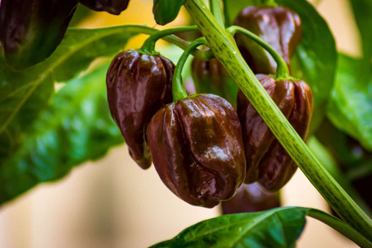 Close up of chocolate habanero chilis still on the plant