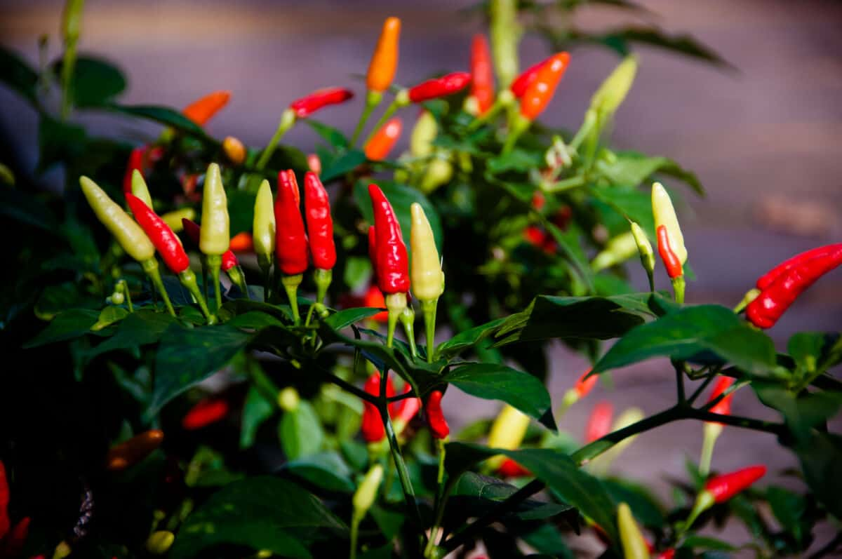 A tabasco pepper plant with peppers growing upwards from the plant