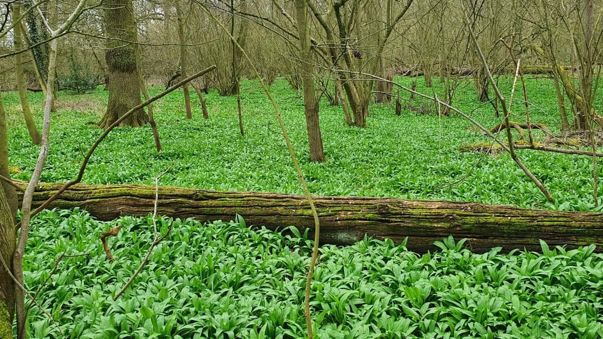 A carpet of wild garlic on a woodland floor