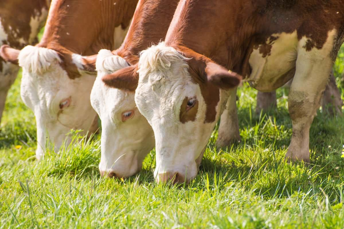 3 brown and white cows eating lush, bright green grass