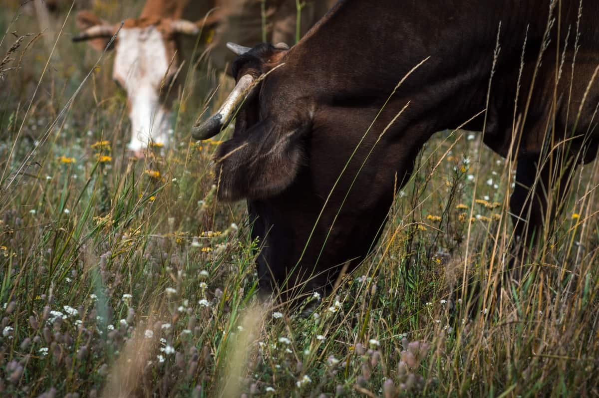 cows eating grass in a wild field with some flowers